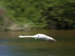 Lenka Stankovianska - Prelet labute